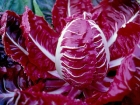 Radicchio rosso di Asigliano (Vicenza)